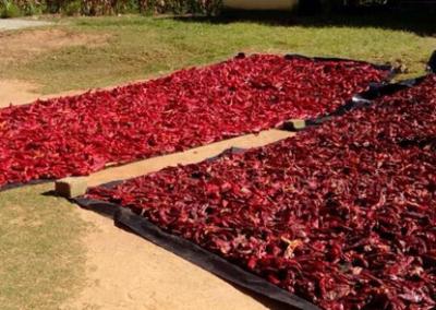 Paprika sorting(Chiendambuya)